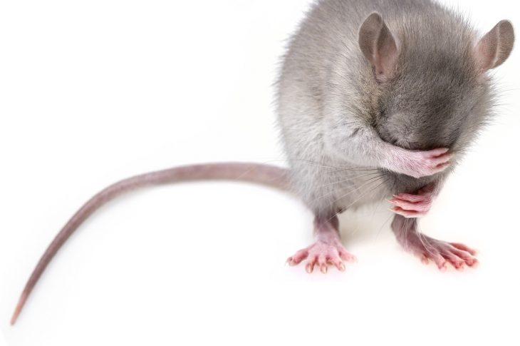 Les pièges les plus efficaces pour lutter contre les souris