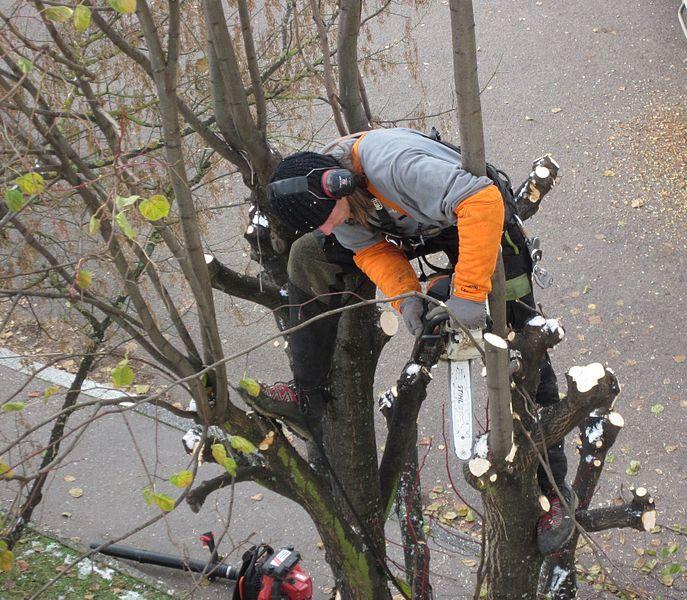 élagage de la cime d'un arbre