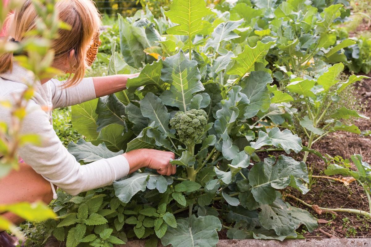 cultiver des brocolis
