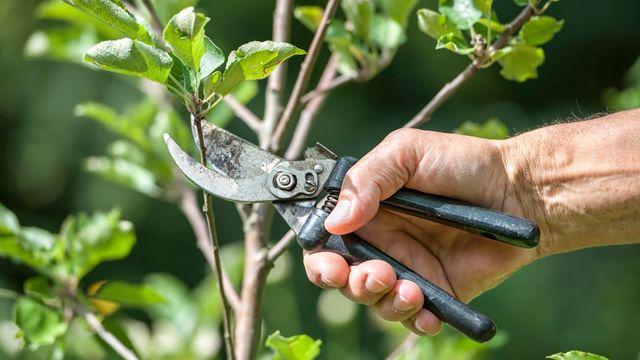 taille d'entretien des arbres