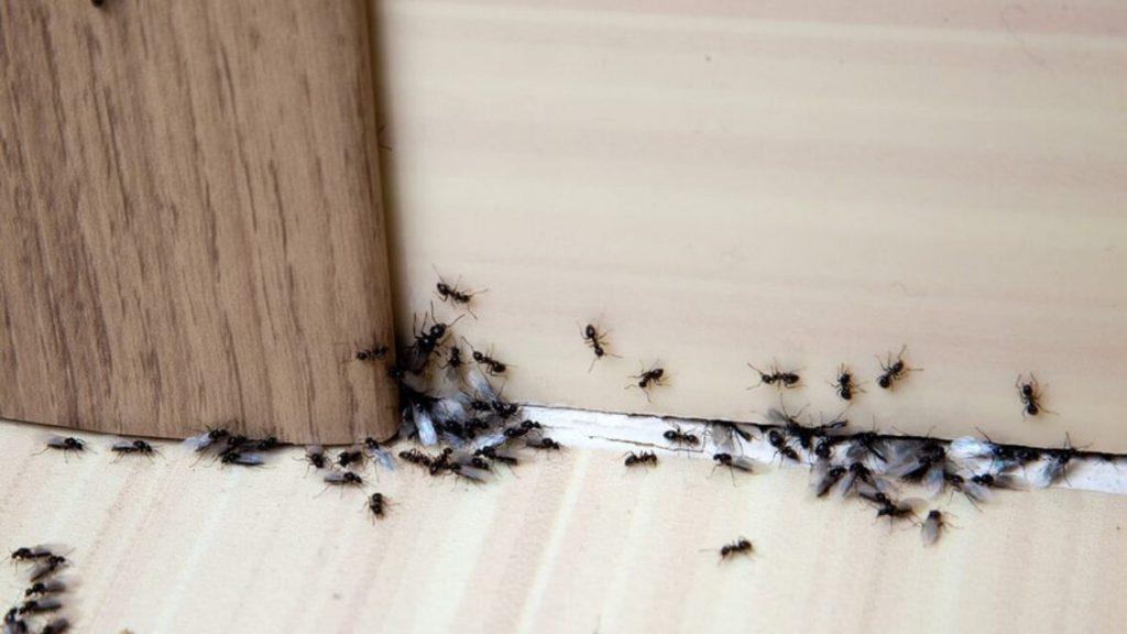 débarrasser des fourmis